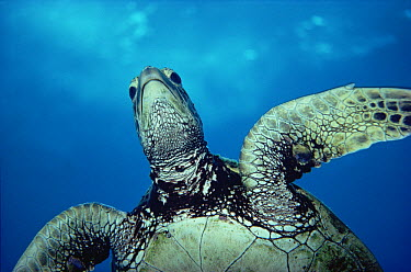 Green Sea Turtle (Chelonia mydas), Kona, Hawaii  -  Chris Newbert