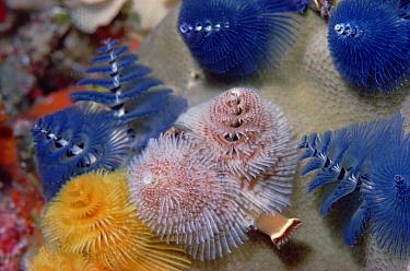 Christmas Tree Worm (Spirobranchus giganteus) group, Coral Sea  -  Chris Newbert