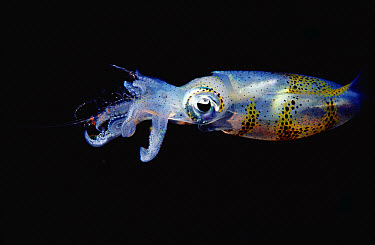 Squid (Sepioteuthis sp) at surface, Papua New Guinea  -  Chris Newbert