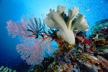 Feather Star (Colobometra perspinosa) on Sea Fan (Melithaea sp) and Leather Coral (Sarcophyton sp) 70 Feet Deep, Solomon Islands  -  Chris Newbert