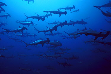 Scalloped Hammerhead Shark (Sphyrna lewini) school at 60 feet, Galapagos Islands, Ecuador  -  Chris Newbert