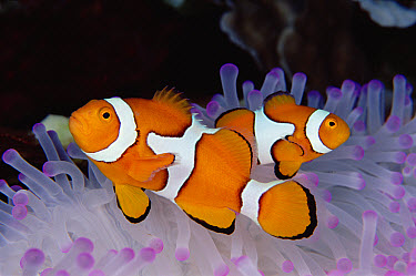 Blackfinned Clownfish (Amphiprion percula) in bleached Sea Anemone host, 30 feet deep, Solomon Islands  -  Birgitte Wilms