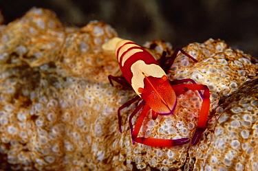 Emperor Shrimp (Periclimenes imperator) on Sea Cucumber (Synapta maculata) 20 feet deep, Papua New Guinea  -  Birgitte Wilms