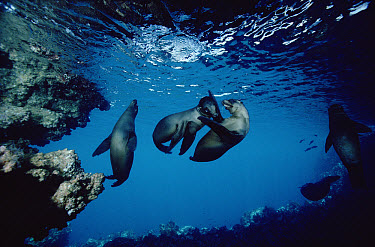 Galapagos Sea Lion (Zalophus wollebaeki) several youngsters playing in cave, Galapagos Islands, Ecuador  -  Chris Newbert