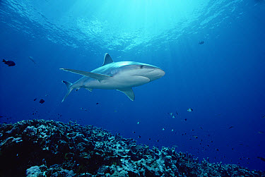 Silver-tip Shark (Carcharhinus albimarginatus) 30 feet deep, Papua New Guinea  -  Chris Newbert