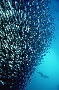 Black-striped Salema (Xenocys jessiae) group schooling, and two Galapagos Sharks (Carcharhinus galapagensis) 50 feet deep, Galapagos Islands, Ecuador  -  Chris Newbert