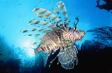Common Lionfish (Pterois volitans) 20 feet deep, Papua New Guinea  -  Birgitte Wilms