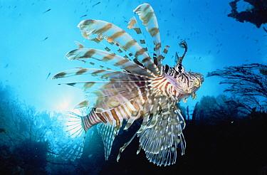 Common Lionfish (Pterois volitans) 20 feet deep, Papua New Guinea  -  Birgitte Wilms