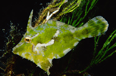 Diamond Leatherjacket (Acreichthys tomentosus) in Algae (Halimeda sp) 10 feet deep, Papua New Guinea  -  Birgitte Wilms