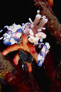 Harlequin Shrimp (Hymenocera picta) paralyzing a Sea Star by injecting venom with its specialized stinging arms, 30 feet deep, Papua New Guinea  -  Chris Newbert