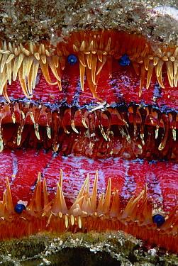 Magnificent Scallop, close-up detail, 60 feet deep, Galapagos Islands, Ecuador  -  Chris Newbert