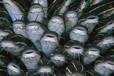 Striped Catfish (Plotosus lineatus) schooling, 60 feet deep, Papua New Guinea  -  Chris Newbert