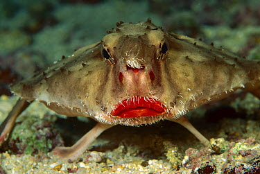 Rosy-lipped Batfish (Ogcocephalus sp) portrait, 100 feet deep, Cocos Island, Costa Rica  -  Chris Newbert