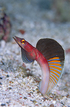 Blenny (Blenniidae), portrait, 30 feet deep, Galapagos Islands, Ecuador  -  Chris Newbert