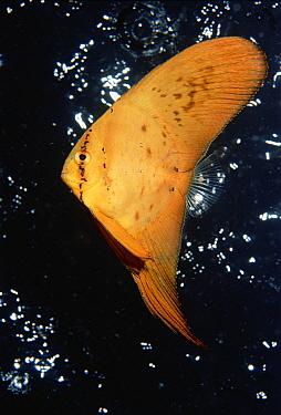 Orbiculate Batfish (Platax orbicularis) juvenile, with raindrops hitting the waters surface in background, Solomon Islands  -  Chris Newbert
