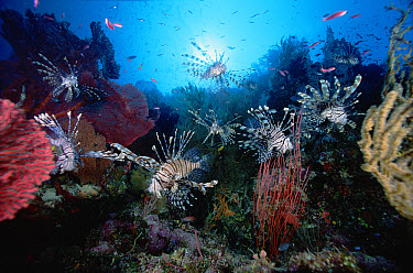 Common Lionfish (Pterois volitans) group surrounded by Sea Fans (Melithaea sp) 60 feet deep, Solomon Islands  -  Chris Newbert