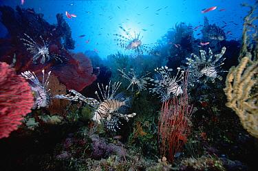 Common Lionfish (Pterois volitans) group surrounded by Sea Fans (Melithaea sp) 60 feet deep, Solomon Islands  -  Chris Newbert