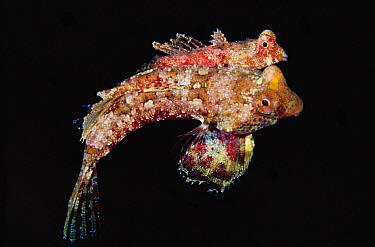 Dragonet (Synchirropus sp) pair mating, 40 feet deep, Solomon Islands  -  Chris Newbert