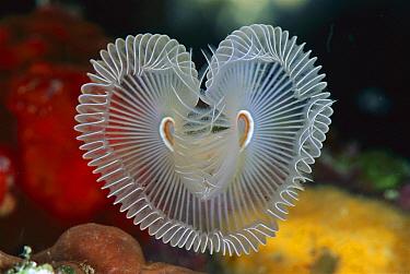 Feather Duster Worm (Sabellastarte sp) in the shape of a heart, 40 feet deep, Solomon Islands  -  Chris Newbert