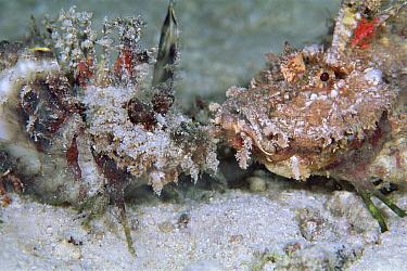 Two-stick Stingfish (Inimicus filamentosus) pair beginning courtship, 20 feet deep, Solomon Islands  -  Chris Newbert