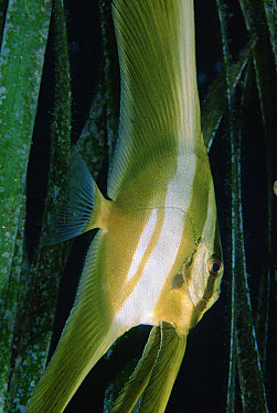 Longfin Batfish (Platax teira) juvenile in Tape Seagrass (Enhalus acoroides) 10 feet deep, Solomon Islands  -  Chris Newbert