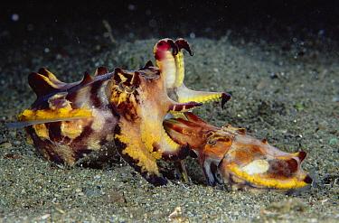 Flamboyant Cuttlefish (Metasepia pfefferi) pair mating, male is smaller, preparing to deposit sperm, 90 feet deep, Papua New Guinea  -  Chris Newbert