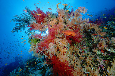 Soft Coral (Dendronephthya sp) and Grouper (Cephalopholis sp) 60 feet deep, Red Sea, Egypt  -  Chris Newbert