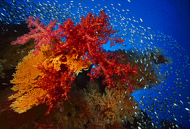 Soft Coral (Dendronephthya sp) outcroppings, Sea Fan (Subergorgia sp) and Glassfish (Parapriacanthus ransonneti)  -  Chris Newbert