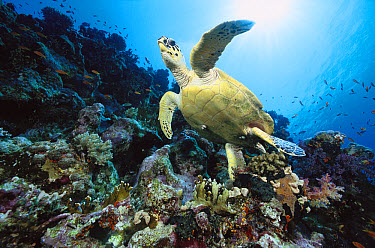 Green Sea Turtle (Chelonia mydas) swimming over coral reef, 40 feet deep, Red Sea, Egypt  -  Chris Newbert