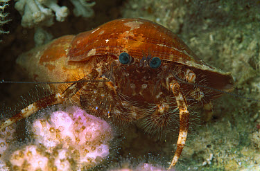 Hermit Crab (Diogenidae) in colorful shell, 40 feet deep, Red Sea, Egypt  -  Birgitte Wilms