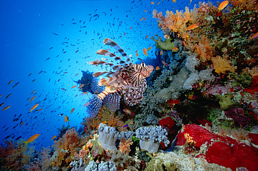 Common Lionfish (Pterois volitans) swimming over reef, 20 feet deep, Red Sea  -  Chris Newbert