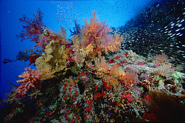 Soft Coral (Dendronephthya sp) and Pigmy Sweeper (Parapriacanthus ransonneti) 50 feet deep, Red Sea Egypt  -  Chris Newbert