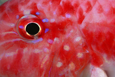 Surmullet (Parupeneus sp) eye, close-up, Red Sea, Egypt  -  Chris Newbert
