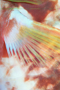 Parrotfish (Scarus sp) fin detail, Red Sea, Egypt  -  Chris Newbert