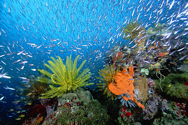 Feather Star (Oxycomanthus bennetti) on coral reef, surrounded by baitfish 30 feet deep, Papua New Guinea  -  Chris Newbert