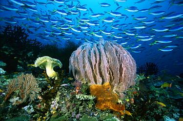 Giant Barrel Sponge (Xestospongia testudinaria) and schooling Fusiliers (Caesio sp) 70 feet deep, Papua New Guinea  -  Chris Newbert