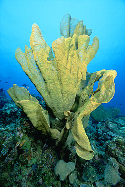 Elephant Ear Sponge (Lanthellidae) 80 feet deep, Papua New Guinea  -  Chris Newbert