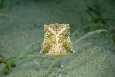 Cowfish (Lactoria sp) 20 feet deep, Papua New Guinea  -  Chris Newbert