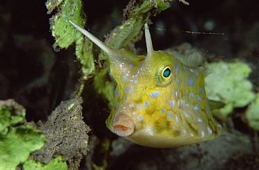 Cowfish (Lactoria sp) portrait, 20 feet deep, Papua New Guinea  -  Chris Newbert