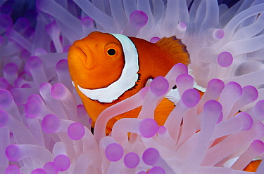 Blackfinned Clownfish (Amphiprion percula) in bleached Magnificent Sea Anemone (Heteractis magnifica) host, Papua New Guinea