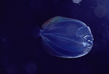 Larval Flounder of unknown species is translucent when young, Hawaii  -  Chris Newbert