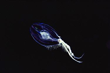 Jellyfish, Hawaii  -  Chris Newbert