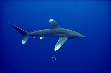 Oceanic White-tip Shark (Carcharhinus longimanus) close to surface, Hawaii  -  Chris Newbert