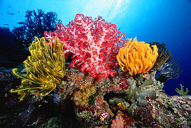 Soft Coral (Dendronephthya sp) between yellow Feather Star (Oxycomanthus bennetti) 50 feet deep, Solomon Islands  -  Chris Newbert