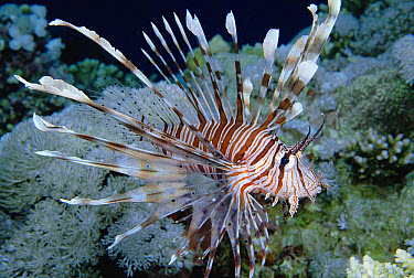 Common Lionfish (Pterois volitans) portrait, 30 feet deep, Solomon Islands  -  Chris Newbert