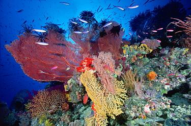 Reef scenic with Sea Fans (Melithaea sp) and Fusiliers (Caesio sp) 70 feet deep, Solomon Islands  -  Chris Newbert