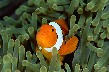Blackfinned Clownfish (Amphiprion percula) in a Magnificent Sea Anemone (Heteractis magnifica) host, Solomon Islands  -  Chris Newbert