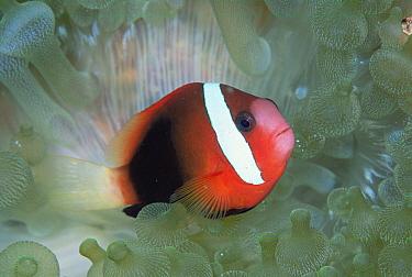 Black Anemonefish (Amphiprion melanopus) in host Bulb Tentacle Sea Anemone (Entacmaea quadricolor), Solomon Islands  -  Chris Newbert