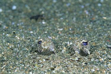 Lefteye Flounder (Bothus sp) eyes peering from sand, 20 feet deep, Solomon Islands  -  Chris Newbert