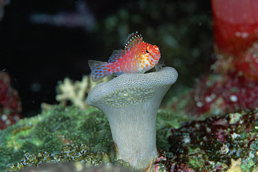 Hawkfish (Cirrhitichthys sp) sitting on small Leather Coral (Sarcophyton sp) 40 feet deep, Solomon Islands  -  Chris Newbert